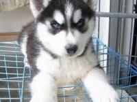 三火蓝眼哈士奇幼犬包健康纯种.品质包终身超级可爱的