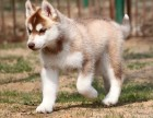 郑州纯种哈士奇价格 郑州哪里能买到纯种哈士奇犬
