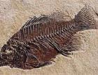 鸡血石,化石(恐龙蛋化石)直接高价收购