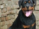 免费送狗到家——德系罗威纳犬——实拍