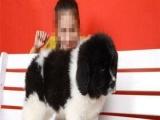 出售高品质纯种纽芬兰幼犬 保证纯种健康 可签协议