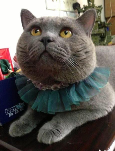 哪里有正规猫舍 蓝猫养殖 蓝猫幼猫转让