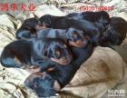 小莱州红幼崽多少钱 莱州红犬价格图片