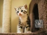 厦门出售纯种美短猫自家繁殖,品质保证,健康纯种