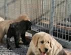 上门挑选——价格公道——可签正规购犬协议——拉布拉多犬