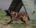 天津什么地方有狗场卖宠物狗/天津哪里有卖马犬