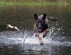 咸阳专业马犬养殖基地出售纯种马犬 包健康 可签协议