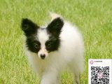 哪里有卖蝴蝶犬 出售纯种蝴蝶犬犬舍在哪里