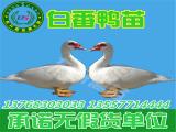 铜仁鸭苗批发市场,买番鸭苗当然是到东升禽苗孵化公司