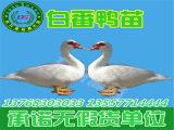 专业的番鸭苗供应商就在南宁——贵州鸭苗孵化场