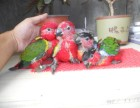 轉讓會說話的吸蜜鸚鵡 亞歷山大 灰鸚鵡 和尚鸚鵡 品種多