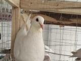 厂家直销绿色生态鸽子幼鸽燕子蛋野鸭子蛋