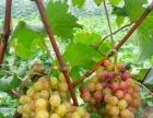 同城免费送葡萄