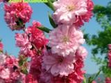 观赏桃花树苗3公分红叶碧桃嫁接苗