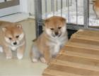 日系柴犬 疫苗齐全 公母俊介 柴犬价格 柴犬成年多大