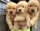 苏州哪里买金毛犬,苏州什么地方买狗好,狗场在哪里