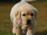 拉不拉多犬養殖基地 品質高血統好 打完疫苗證書齊全