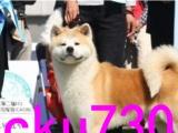 中国大型秋田专业养殖基地常年出售高品质秋田幼犬