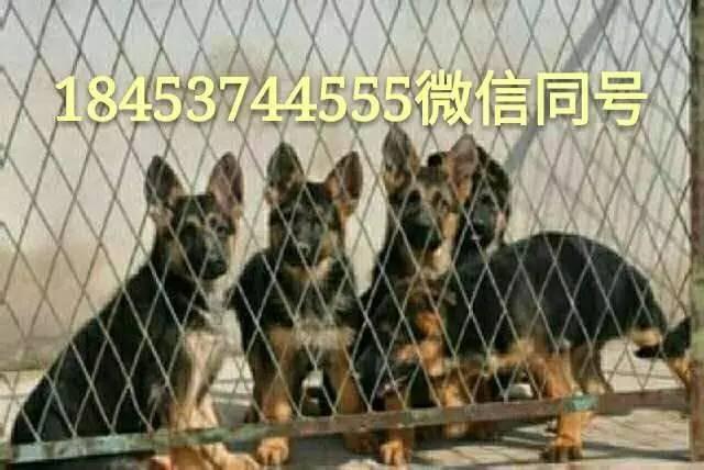 小马犬价格3个月德国牧羊犬价格