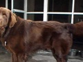 求黑色纽芬兰犬(男性)相亲