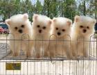 优良血统 纯种博美犬 健康 活泼 已疫苗驱虫