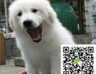 在哪里买纯种的大白熊幼犬 大白熊幼犬最低多少钱