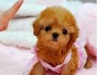 上海哪里有贵宾犬卖 泰迪金毛哈士奇秋田博美阿拉多少钱价格