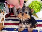 上海QIqi约克夏马尔济斯名犬俱乐部:特价出售约克夏幼犬