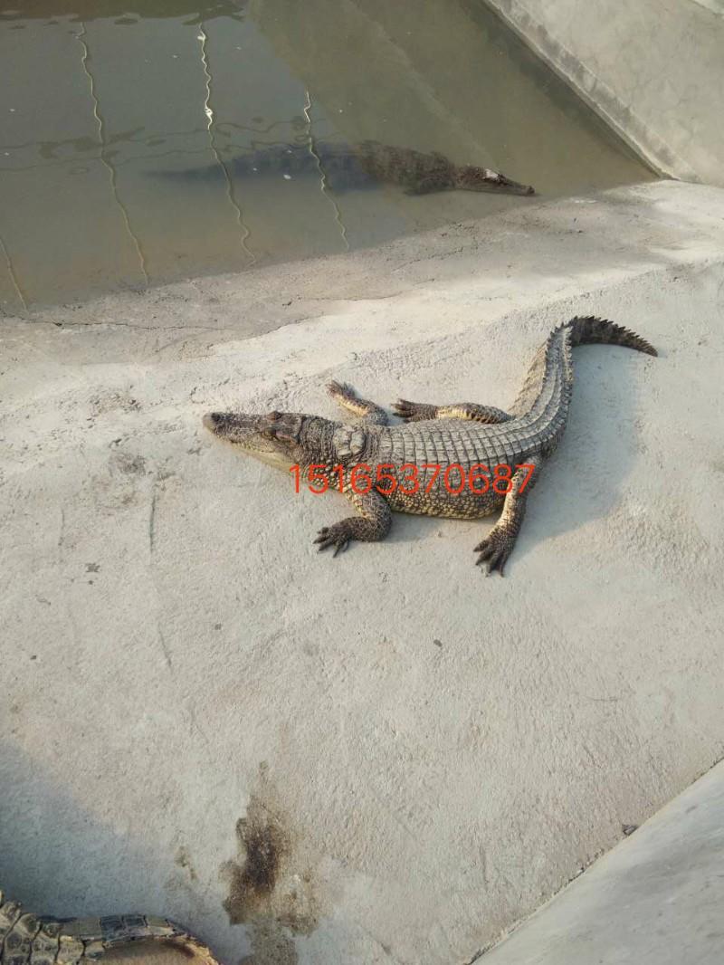 鳄鱼养殖需要技术吗,鳄鱼好养殖吗