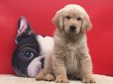 济南 纯种金毛幼犬 疫苗齐全出售中 可签协议健康保障