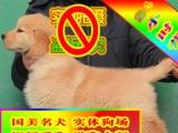 正规狗场繁殖、随时送货、种公借配、可看狗父母、金毛犬