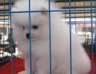 浦东哪里有博美犬卖 浦东博美犬价格 浦东博美犬多少钱