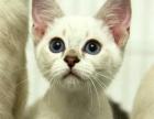 猫舍火爆直销著名的宠物猫暹罗猫全国发货支持支付
