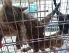 豹猫出售孟加豹猫。品相佳。现在4个月疫苗已做。豹猫