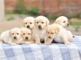中山 纯种拉布拉多幼犬出售,品相好疫苗驱虫做完,包纯种健康