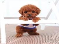 杭州泰迪熊一本地养殖狗场一直销各种世界名犬 常年售卖