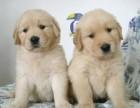 大头金毛今日特价宠物金毛幼犬 可送货上门幼犬
