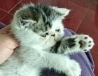 自家养殖加菲猫弟弟2个月对外出售,健康无忧