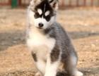 宁波纯种哈士奇价格 宁波哪里能买到纯种哈士奇犬