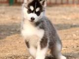拉萨纯种哈士奇多少钱 在拉萨什么地方能买到纯种哈士奇犬