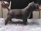 cku注册五星级犬舍 双血统比特犬可上门挑选
