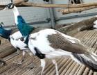 观赏鸟的价格哪里有好看的观赏鸽