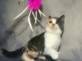 出售英短三花非常漂亮深圳的朋友可上门选猫保健康