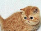 加菲猫活体 纯种宠物猫幼猫 异国短毛猫家养宠物