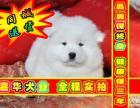 签订活体协议 萨摩耶犬 正规狗场 实物拍摄