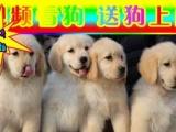 CKU认证犬舍—专业繁殖金毛幼犬—签协议质保三年