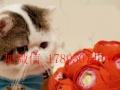出售英短 加菲 蓝猫 幼猫纯种英短宠物猫活体纯种蓝胖子