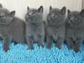 出售四只英短小猫求打包