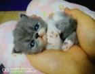 瓦房店加菲猫出售 自家宠物猫纯种加菲猫特价急售