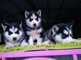 南京出售 哈士奇幼犬 保证纯种健康签订活体协议包退换